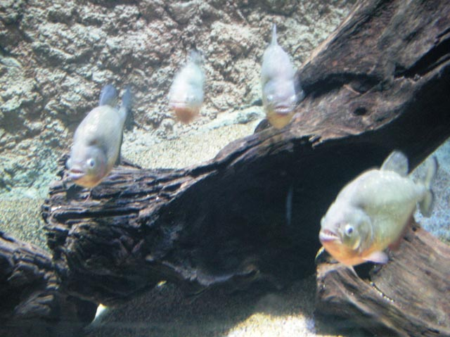 Amazon Flooded Forest_Red-belied Piranha