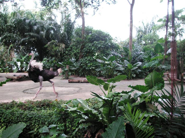 Wold Africa_Ostrich