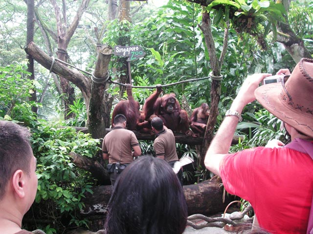 Free Ranging Orang Utan